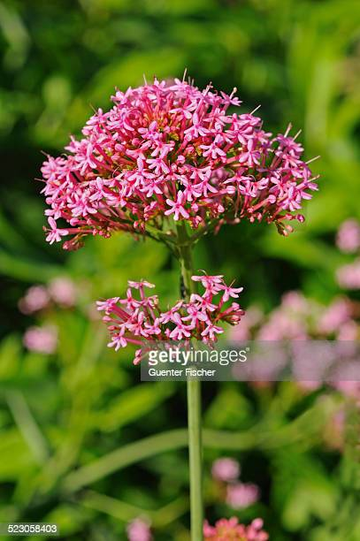 Red Valerian -Centranthus ruber-, Europe