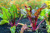 Sugar beets with fresh leaves in the garden. The Red Veined Leaves of Beetroot (Beta vulgaris).