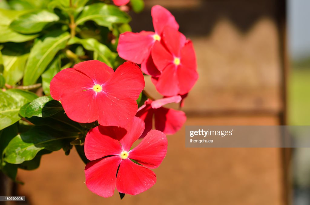 red vinca flowers, madagascar periwinkle : Stock Photo
