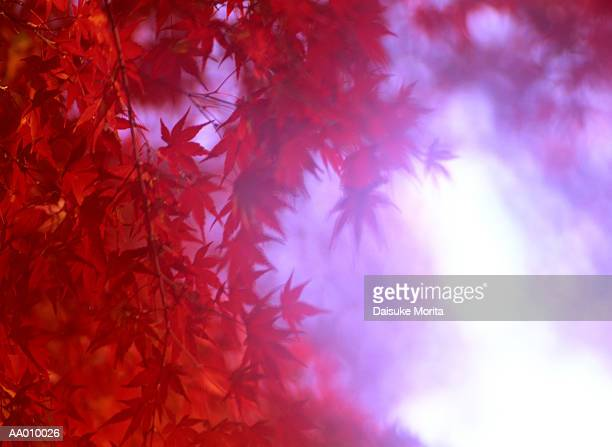 Red Vine Maple Leaves