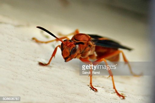 Red Wasp : Stock Photo