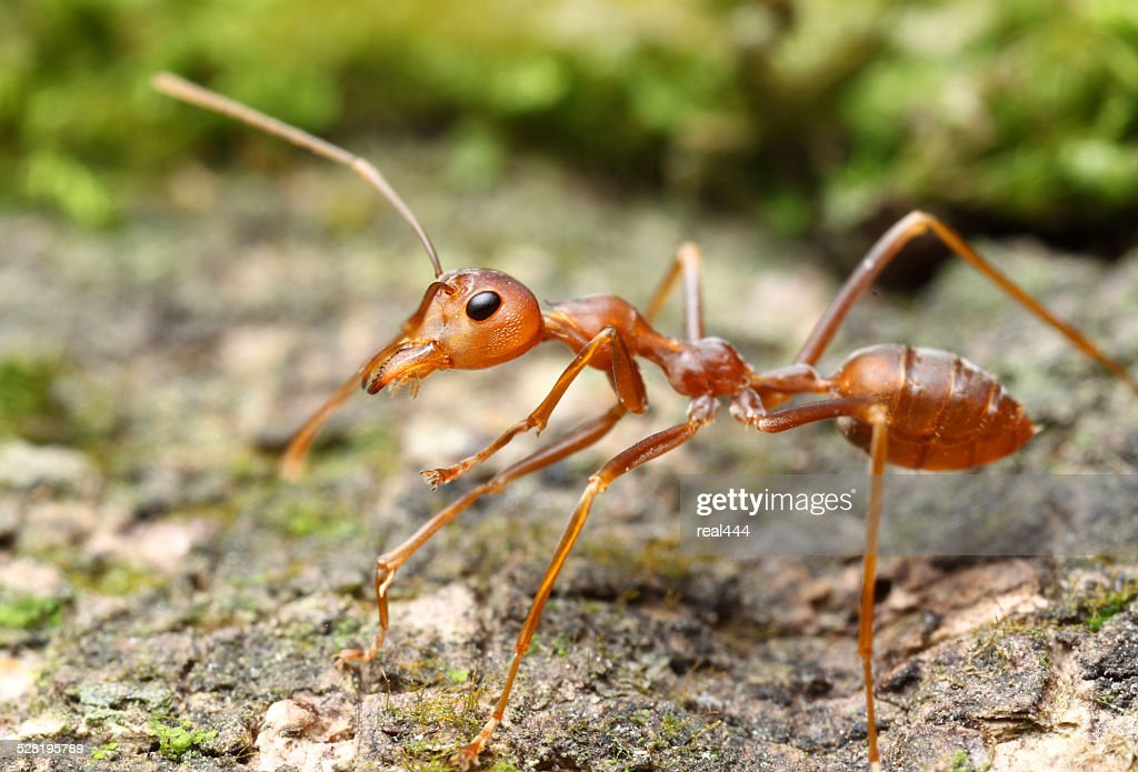 Red Ants  Farming in Thailand Forum  Thailand Visa Forum
