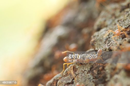 Red weaver ants help together. : Stock Photo