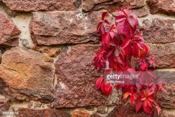 Red wild grape leaves against an old brick wall