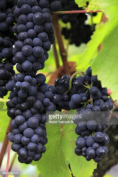 Red wine grape variety of Pinot Noir