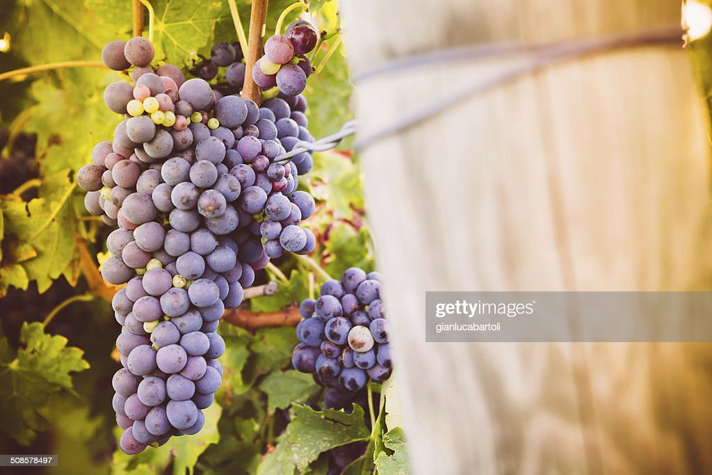 Red wine grapes growing in a vineyard : Stockfoto