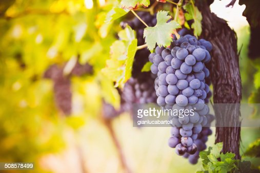Red wine grapes : Bildbanksbilder