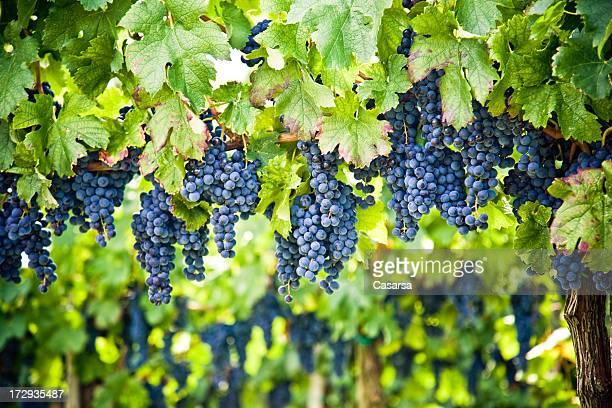 レッドワインのブドウ園