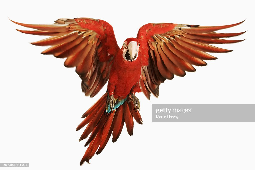 Red-and-green Macaw (Ara chloroptera) against white background : Stock Photo