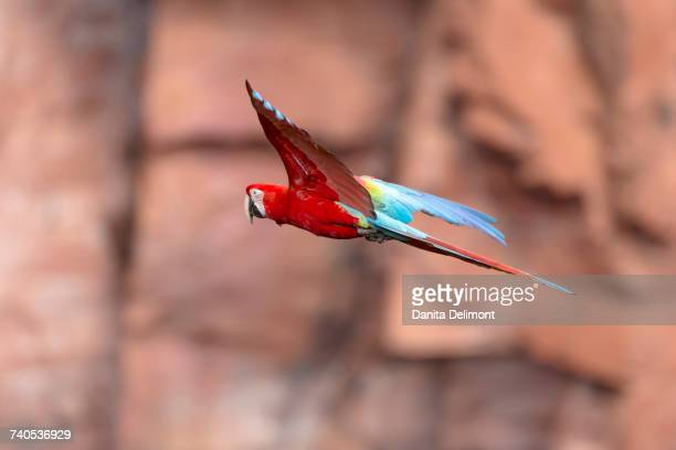 Red-and-green macaw (Ara chloropterus) flying in sinkhole against orange cliffs, Jardim, Mato Grosso do Sul, Brazil