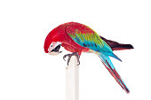 Red-and-green Macaw - Ara chloropterus, isolated over white background