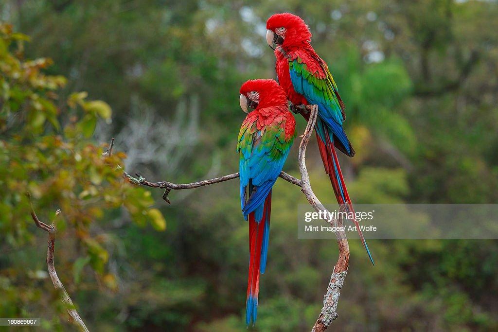 Red-and-green macaws, Ara chloroptera, Buraco das Araras, Brazil : Stock Photo
