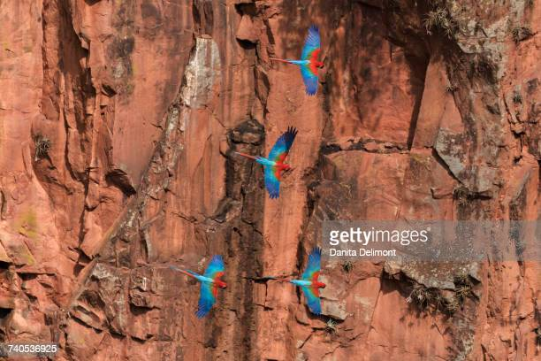Red-and-green macaws (Ara chloropterus) flying in sinkhole against orange cliffs, Jardim, Mato Grosso do Sul, Brazil