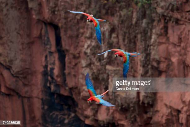Red-and-green macaws (Ara chloropterus) flying in the sinkhole against orangey cliffs, Jardim, Mato Grosso do Sul, Brazil