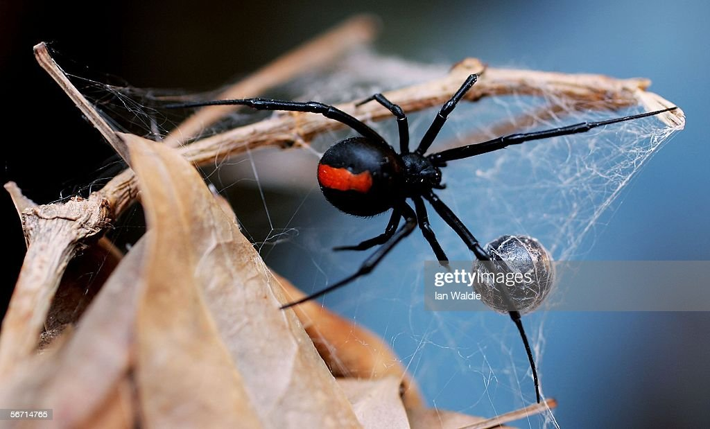 Redback Spider is pictured at the Australian Reptile Park January 23 2006 in Sydney Australia The Redback probably Australia's bestknown deadly...