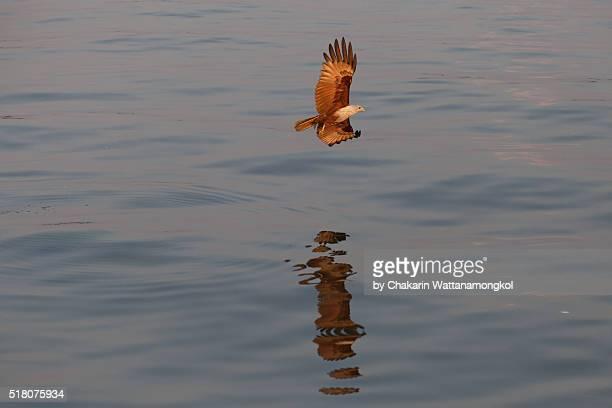 Red-backed Sea Eagle
