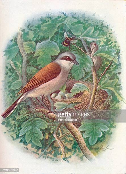 RedBacked Shrike Lanius collurio circa 1910 From Britains Birds and Their Nests by A Landsborough Thomson [The Waverley Book Company Limited W R...