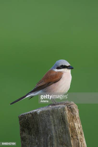 Redbacked shrike male perched on wooden fence post in meadow in spring