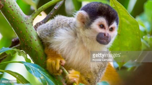 A Red-backed Squirrel Monkey, Costa Rica