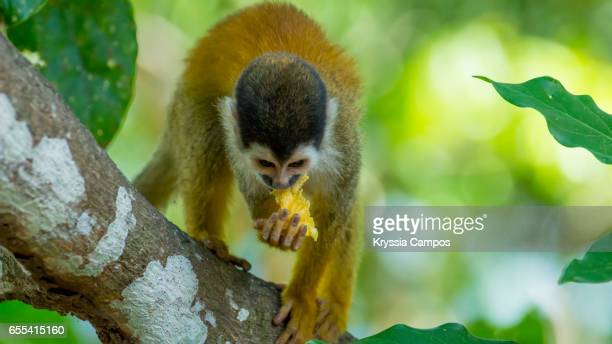 Red-backed Squirrel Monkey eating fruit