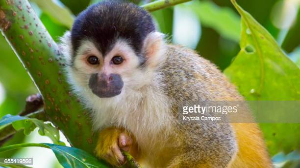 Red-backed Squirrel Monkey looking at the camera