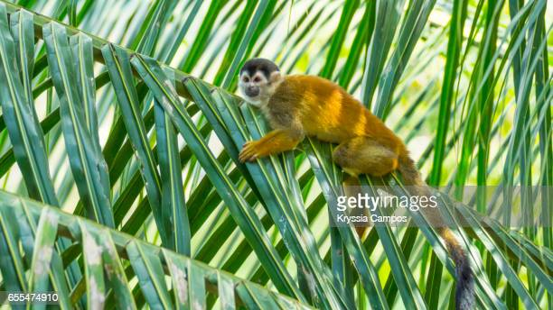 Red-backed Squirrel Monkey on palm tree