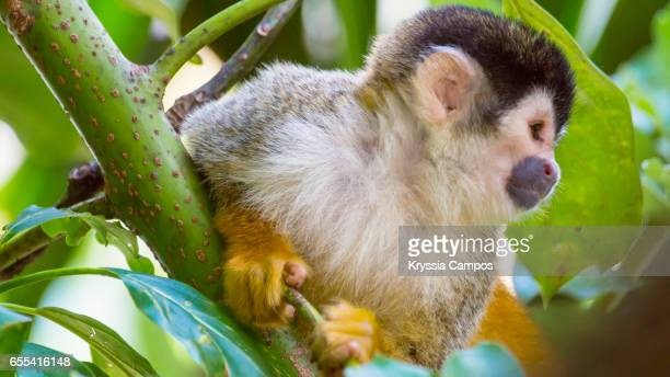 Red-backed Squirrel Monkey resting in tree