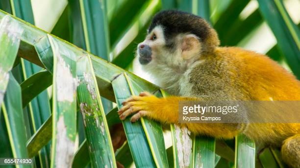 Red-backed Squirrel Monkey resting on tree palm