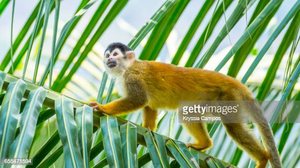 Red-backed Squirrel Monkey walking tree palm