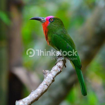 Red-bearded Bee-eater Bird