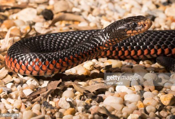 A Redbellied Black Snake rearing its head Redbellied Black Snakes can be found across all of eastern Australia