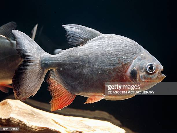Redbellied Piranha Characiformes
