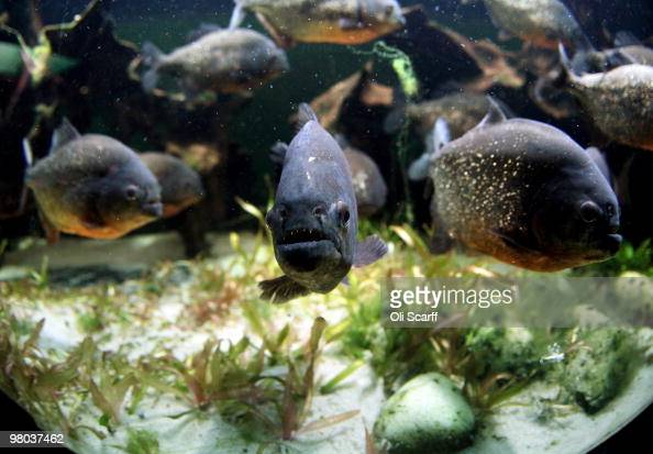 Redbellied Piranha swim in their tank in the living rainforest ...