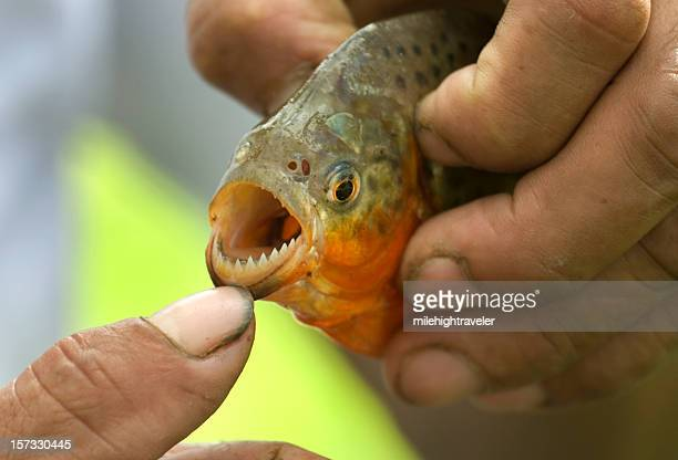 Red-bellied piranha teeth on the Amazon River