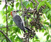 Red-bellied Woodpecker eating a berry.