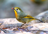 The red-billed leiothrix is a member of the family Leiothrichidae, and is native to the Indian subcontinent.