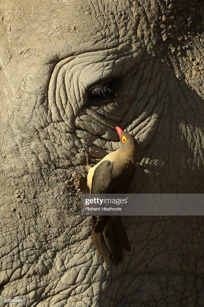 A Red-billed Oxpecker cleans a White Rhino in the Pilanesberg National Park before the third round of the Nedbank Golf Challenge at Gary Player CC on November 11, 2017 in Sun City, South Africa.