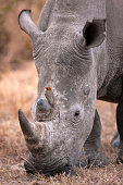 Red-billed oxpecker (Buphagus erythrorhynchus) on a white rhinoceros (Ceratotherium simum).South Afr
