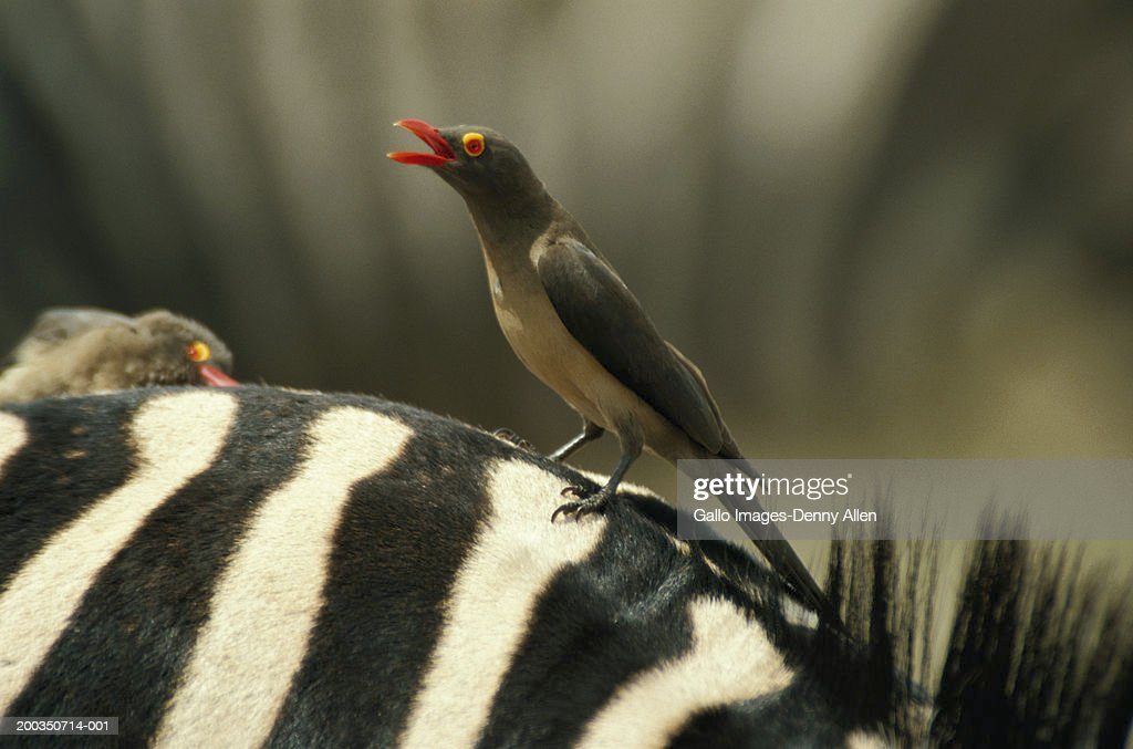 Red-billed oxpecker (Buphagus Erythorhynchus)  on zebra : Stock Photo