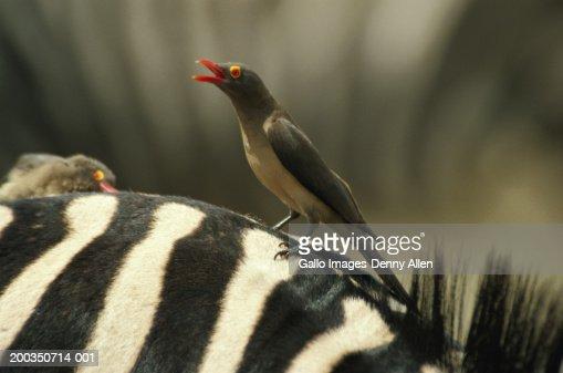 Red-billed oxpecker (Buphagus Erythorhynchus)  on zebra : Stock Photo
