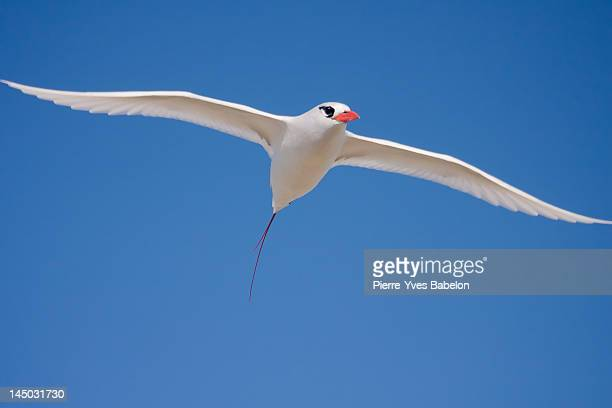 Red-billed Tropicbird (Paille-en-queue)