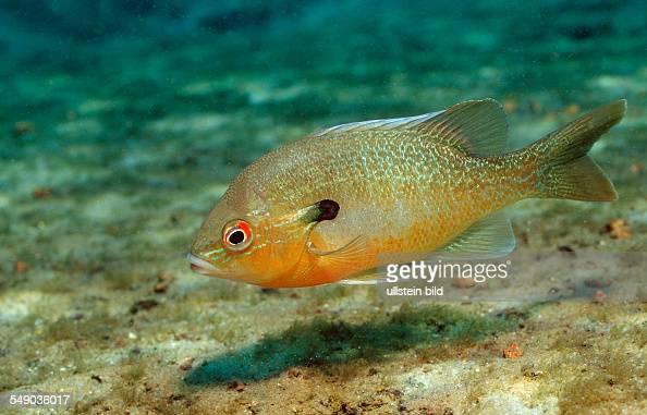 Redbreast Sunfish, Lepomis auritus, USA, Florida, FL
