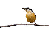 red-breasted nuthatch holds a sunflower seed while perched on a branch; white background