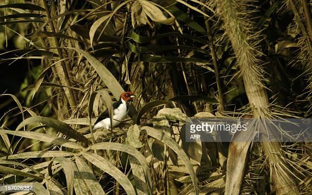 A Redcapped Cardinal perches on a tree in the Ecuadorean Yasuni National Park Orellana province Ecuador on November 10 2012 The Yasuni National Park...