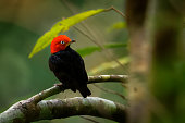 Red-capped manakin - Ceratopipra mentalis  bird in the Pipridae family. It is found in Belize, Colombia, Costa Rica, Ecuador, Guatemala, Honduras, Mexico, Nicaragua, Peru and Panama.