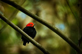 Red-capped manakin - Ceratopipra mentalis  bird in the Pipridae family. It is found in Belize, Colombia, Costa Rica, Ecuador, Guatemala, Honduras, Mexico, Nicaragua, Peru and Panama