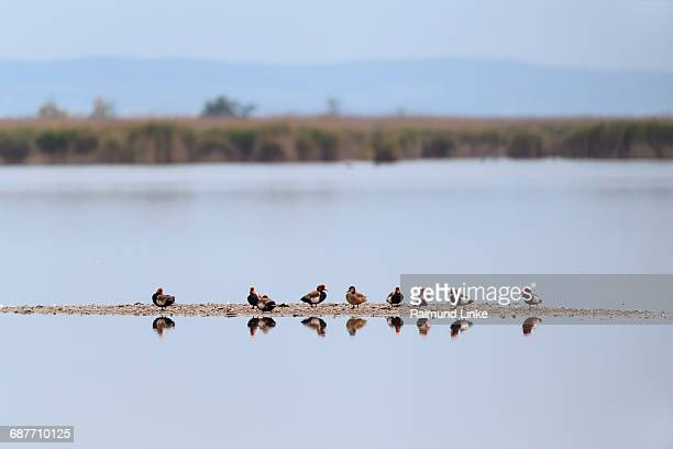 Red-crested Pochard, Netta rufina