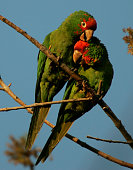 Red–crowned Parrots a flock of which assembles each night in Temple City in the streets around the intersection of Baldwin and Live Oak Avenue Photos...