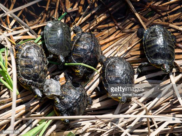 Red-eared sliders / red-eared terrapins (Trachemys scripta elegans / Pseudemys scripta elegans / Emys elegans) group resting on log in lake