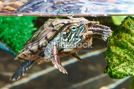 Red-eared turtle have dry feed : Stock Photo